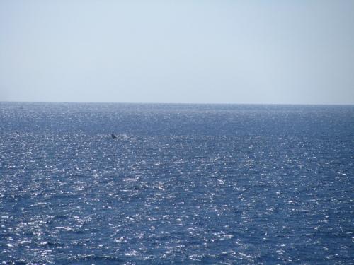 whale long distance