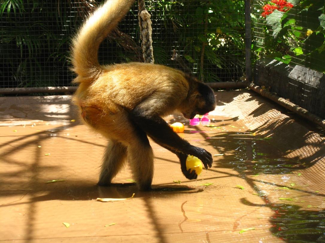Wading monkey 1
