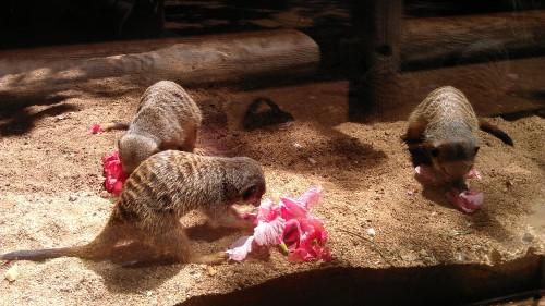 meerkat snacktime