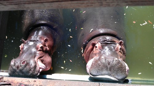 1/5/12 hippo noses