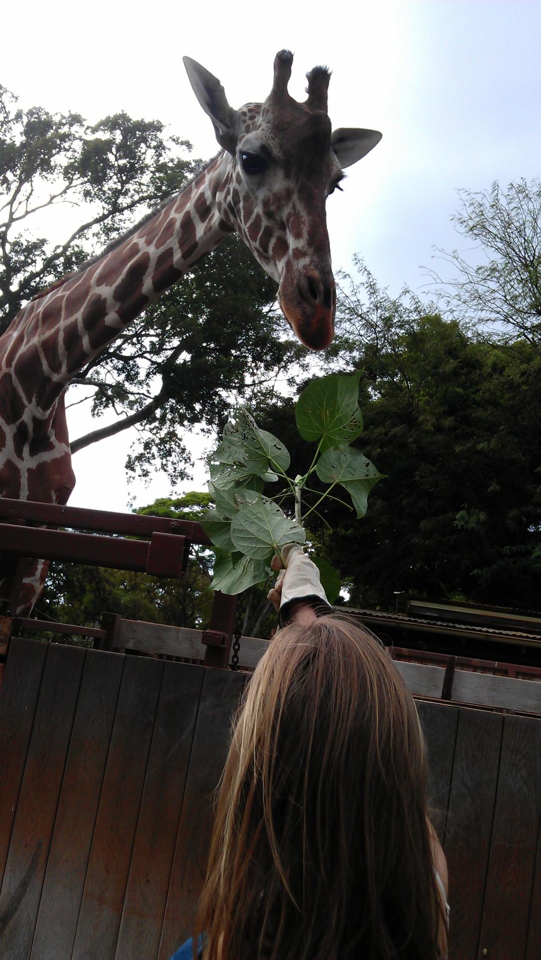 2/12/2012 feeding giraffes