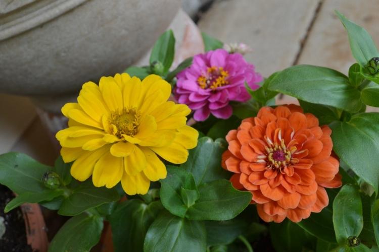 Container garden -- zinnia