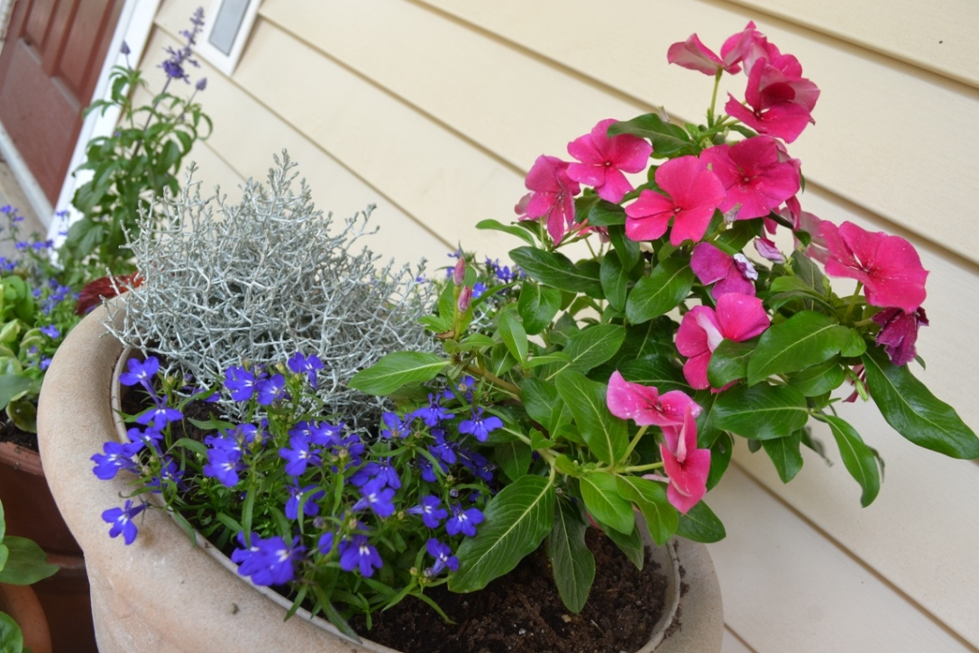 Container garden -- silverbush, vinca, purple flowers