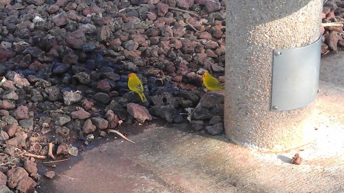 3/30/2012 while walking with J, we saw saffron finches