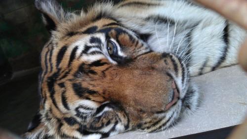 4/17/2012 sleepy tiger
