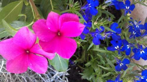 4/23/2012 flowers in the front garden