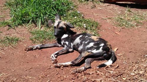 4/26/2012 African wild dog sun bathing