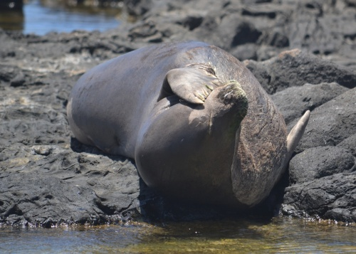 monk seal basking