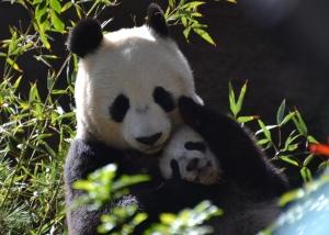 Baby panda hugs
