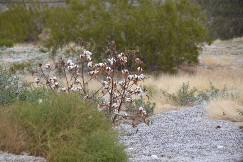 Arizona, Sonoran Desert wild cotton