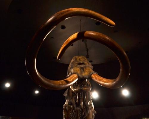 La Brea, mammoth