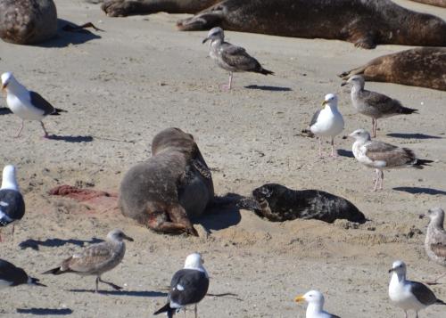 La Jolla seals baby newborn