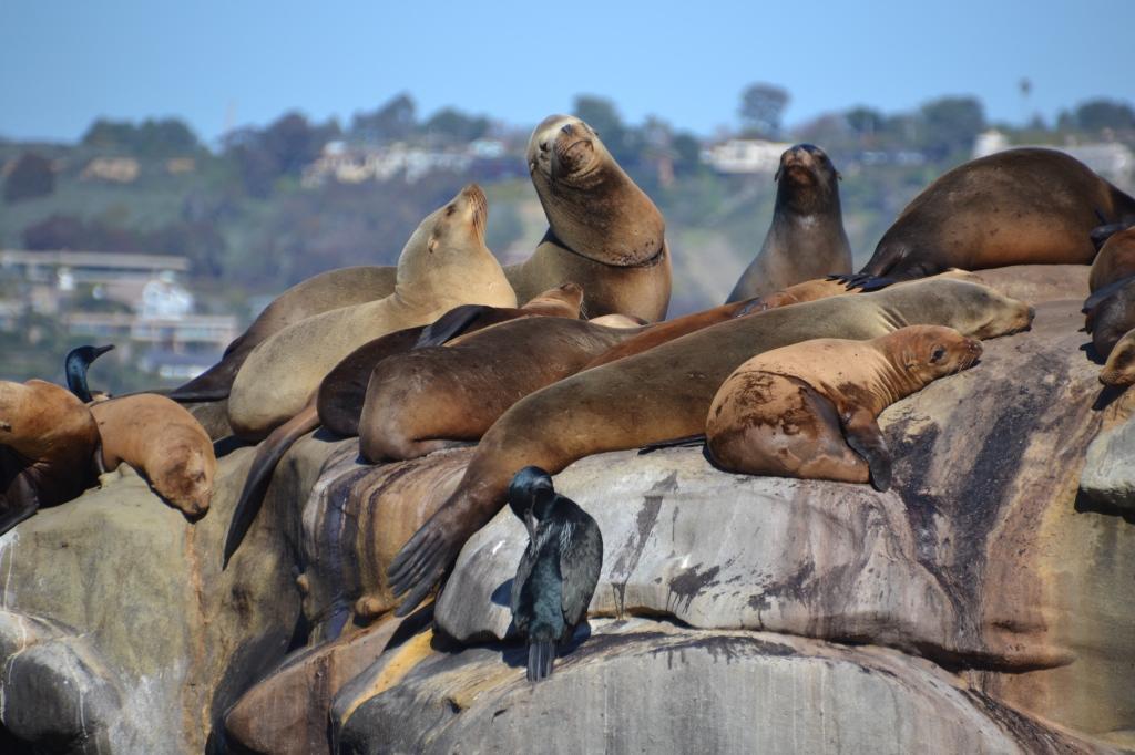 La Jolla sea lions, group