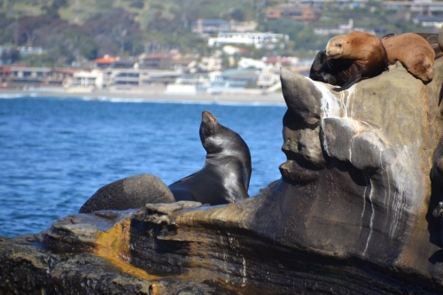 La Jolla sea lions, noses up