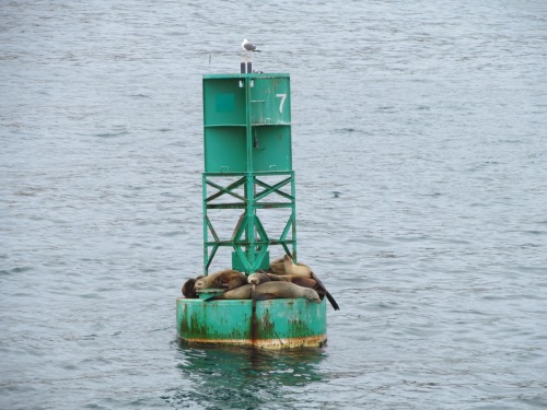 Whale watching, sea lions on buoy