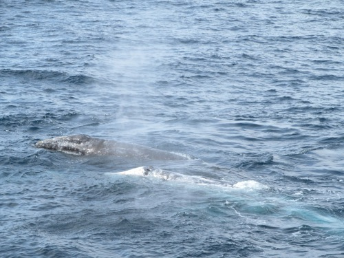 Whale watching, gray whale faces