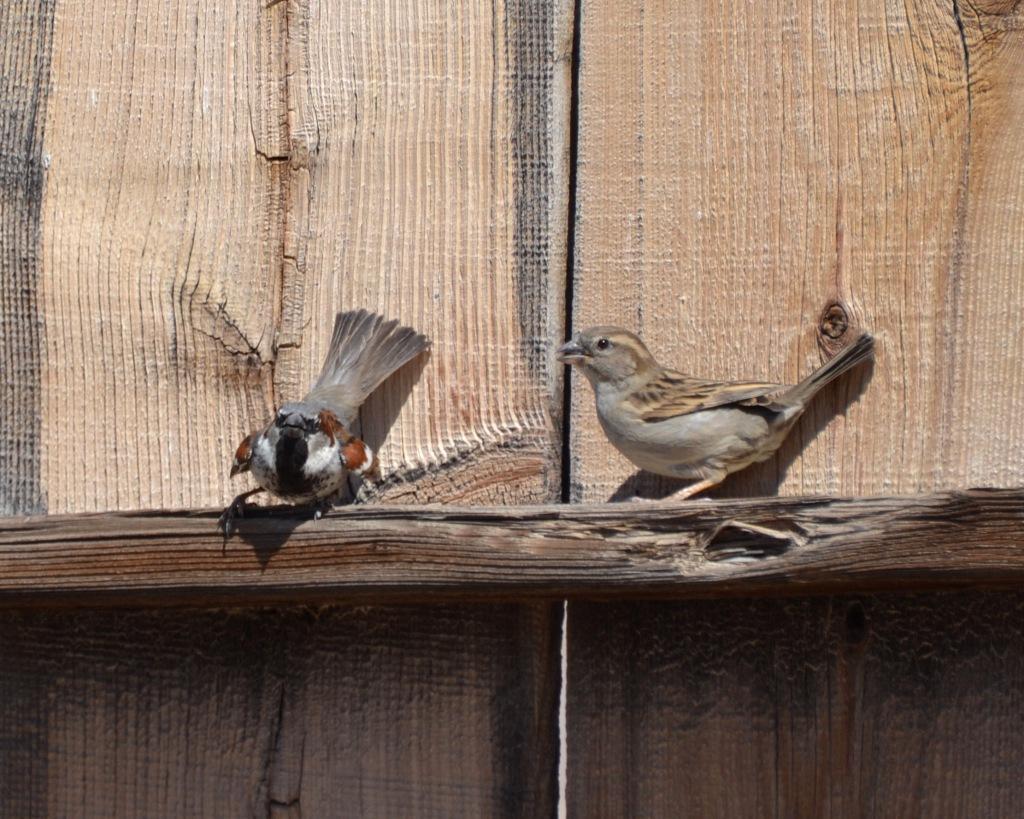 Sparrows dancing