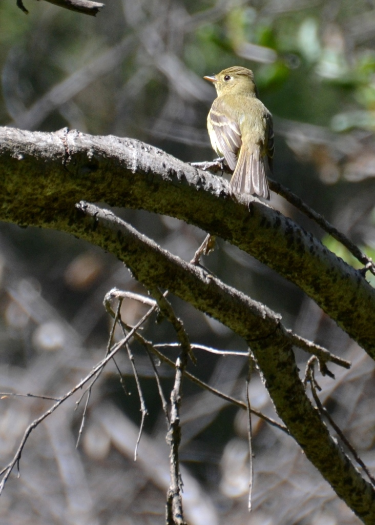 Lake Ramona, flycatcher