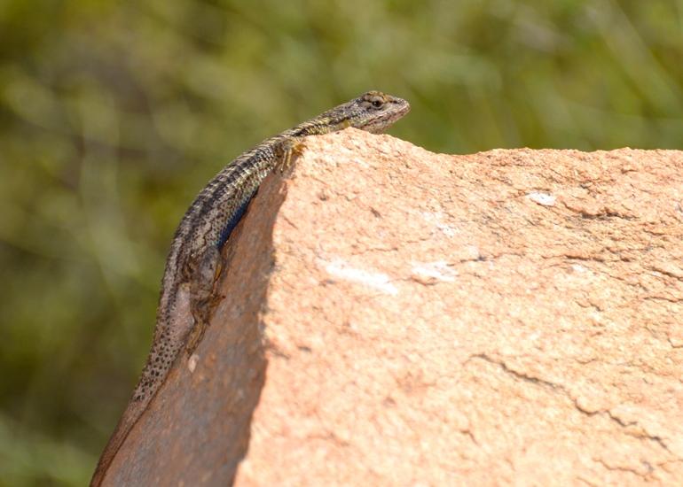 Blue Sky western fence lizard