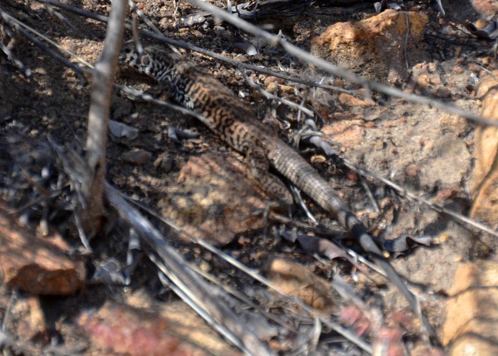 Lake Ramona, common checkered whiptail