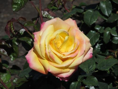 Easter Balboa Park yellow rose