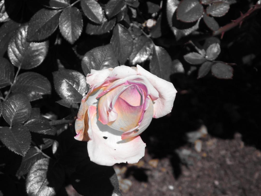 Easter Balboa Park pink rose