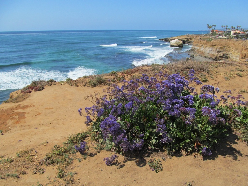 Sunset Cliffs, purple flowers