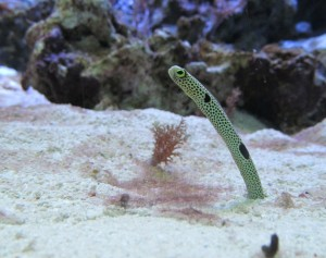 Birch Aquarium spotted garden eel