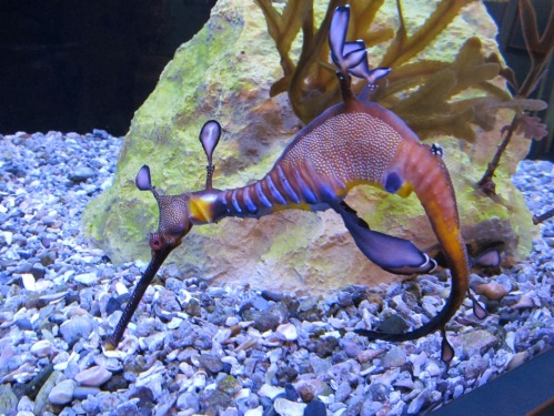 Birch Aquarium sea dragon