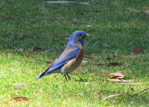 Balboa western bluebird