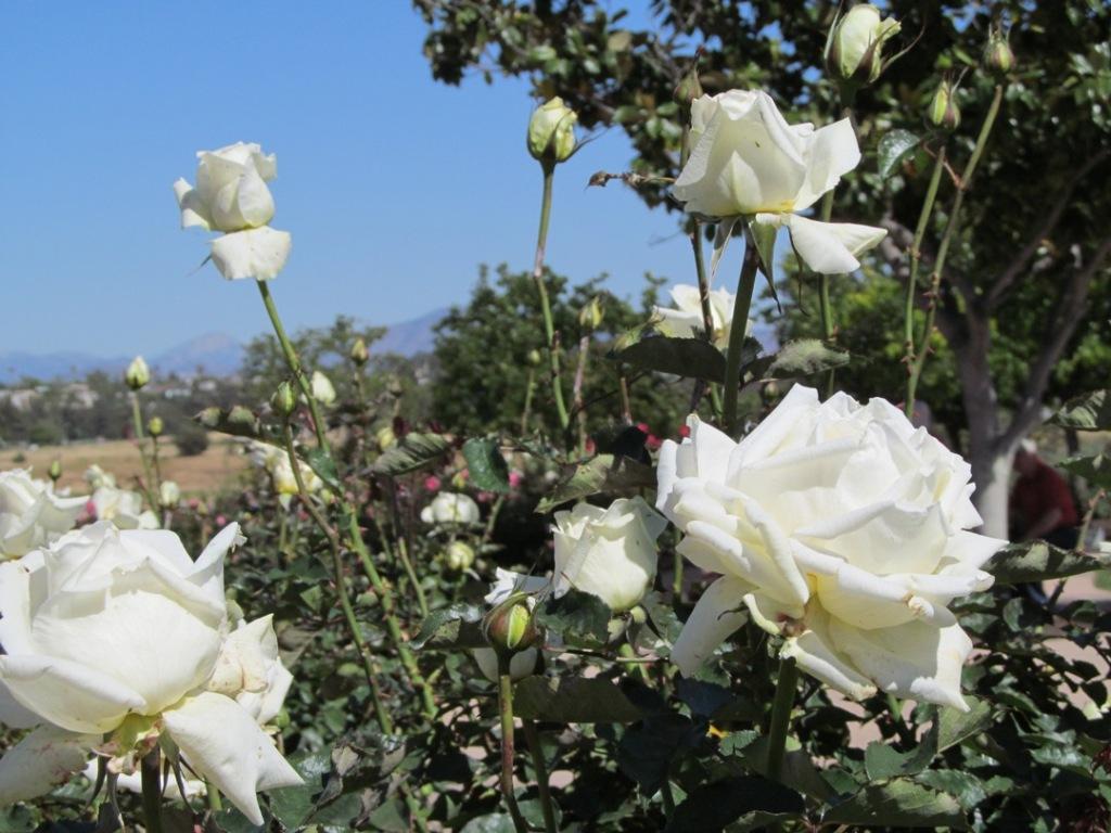 Balboa white roses