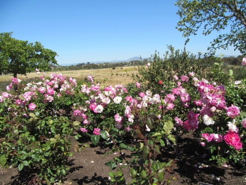 Balboa pink roses