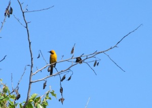 Balboa hooded oriole