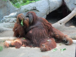 Zoo, orangutan lounging