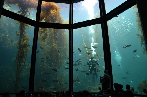 Monterey Bay Aquarium Kelp Bed