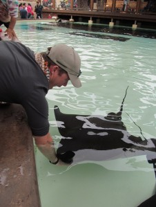 Seaworld J feeds a bat ray