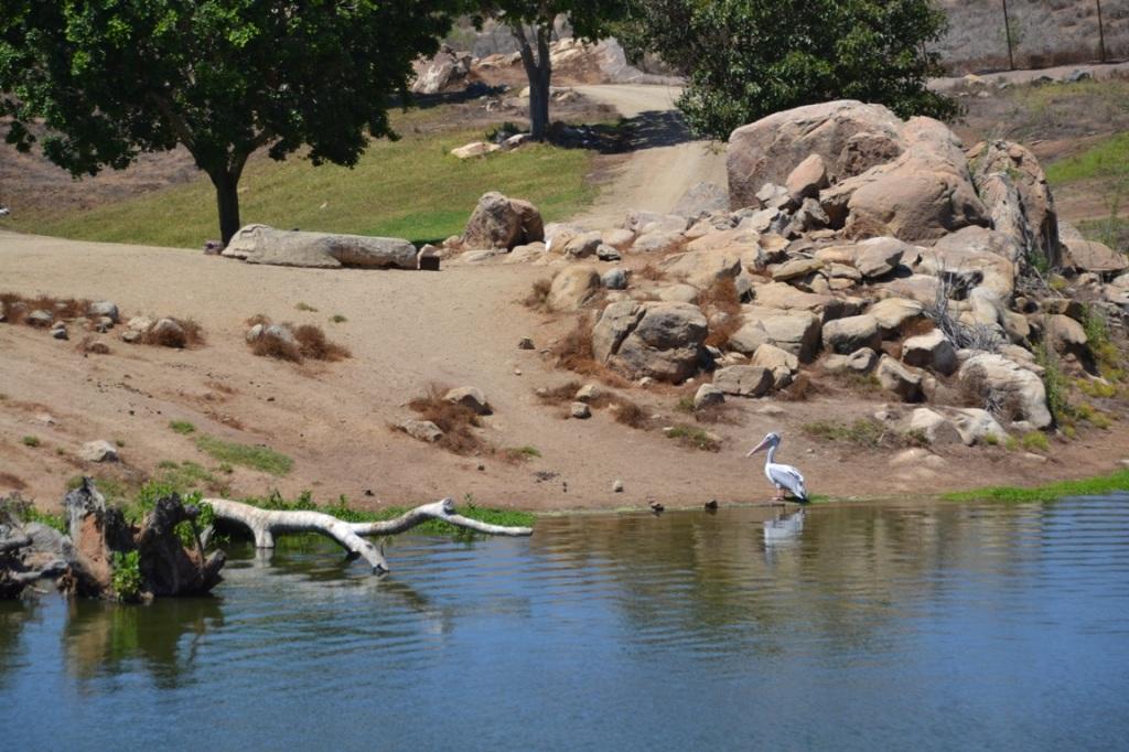 Safari Park, pelican