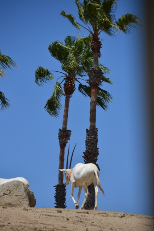 Safari Park, Arabian oryx