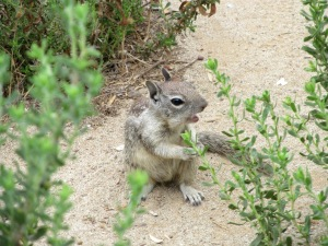 ground squirrel, chewing