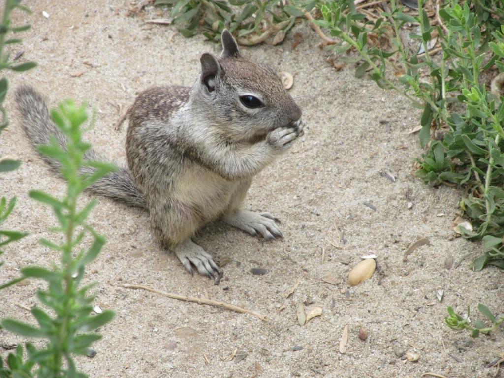 ground squirrel, face