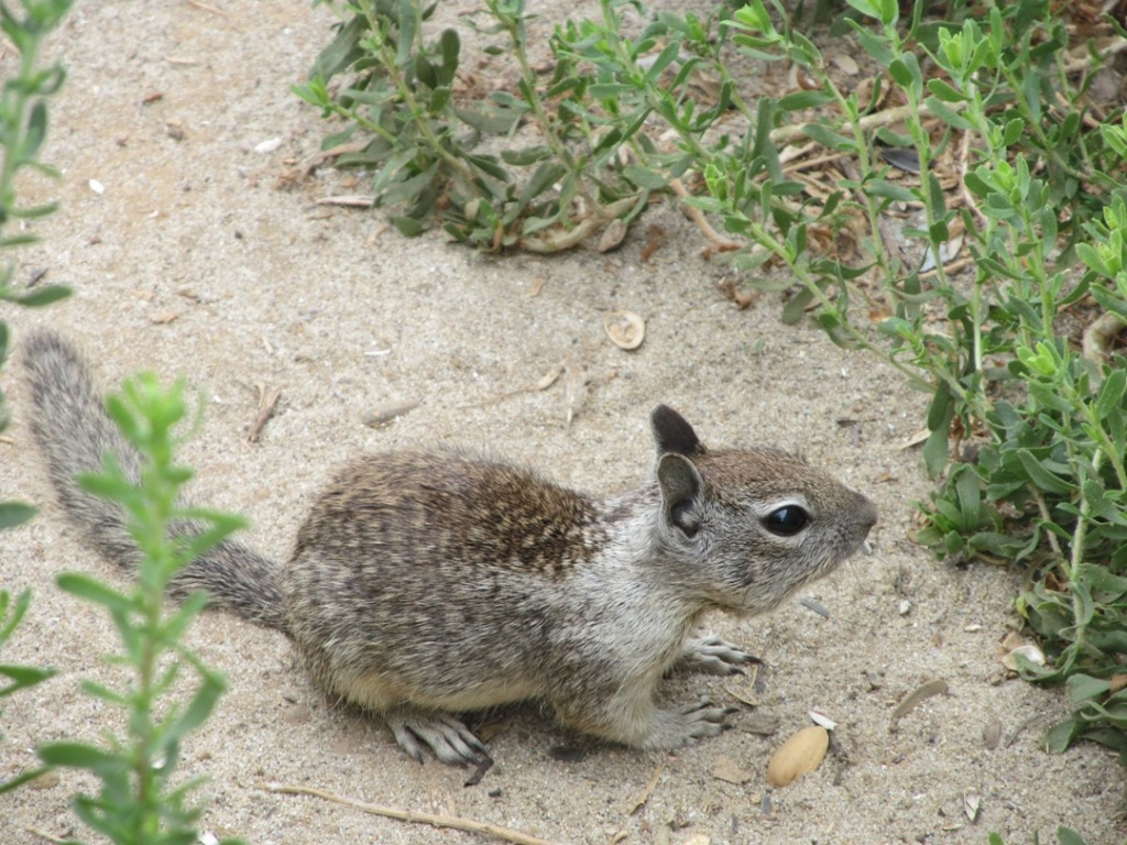 ground squirrel, side