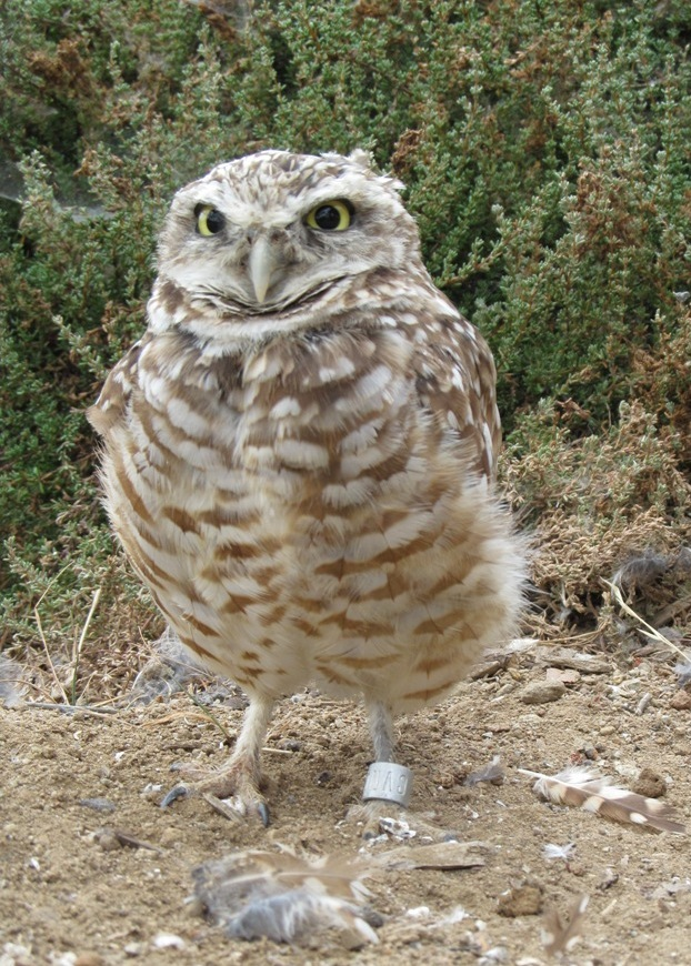 Living Coast, burrowing owl
