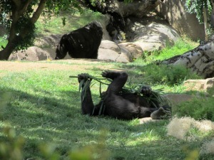 SD Zoo Safari Park, gorilla plays