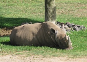 SD Zoo Safari Park, northern white rhino