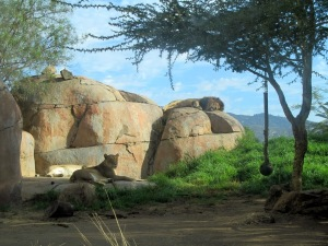 SD Zoo Safari Park. lions