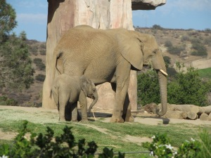 SD Zoo Safari Park, baby elephant