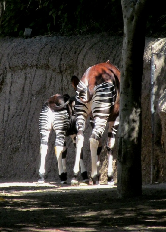 SD Zoo, baby okapi
