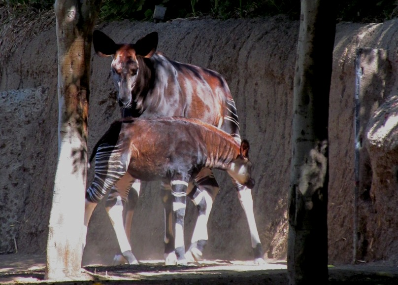 SD Zoo, baby okapi with mom