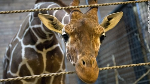 copenhagen giraffe