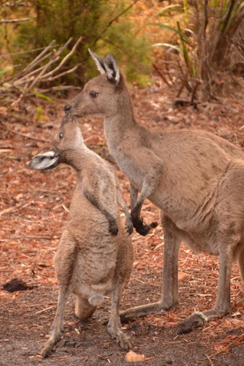 Australia kangaroo kisses